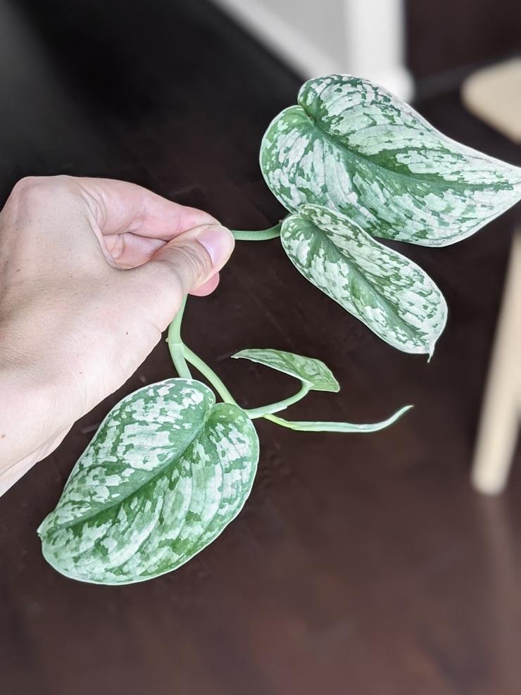 scindapsus pictus exotica cutting