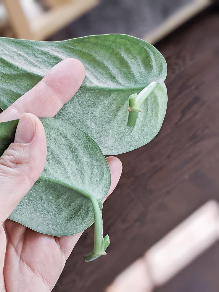 scindapsus pictus exotica cuttings for propagation