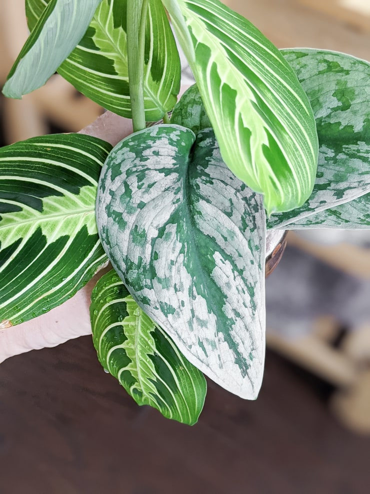 scindapsus pictus exotica cutting rooting with prayer plant cuttings
