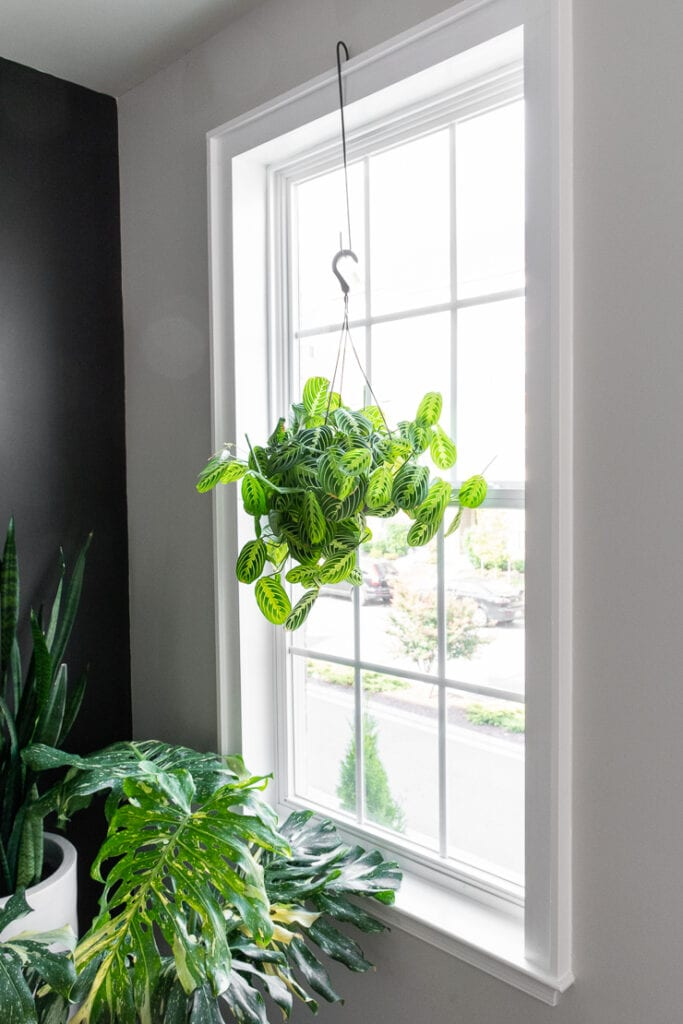 prayer plant hanging in a window