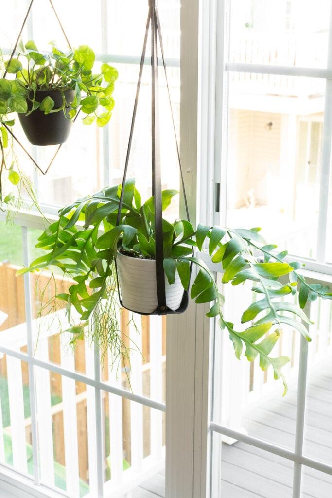 fern leaf cactus hanging in a window