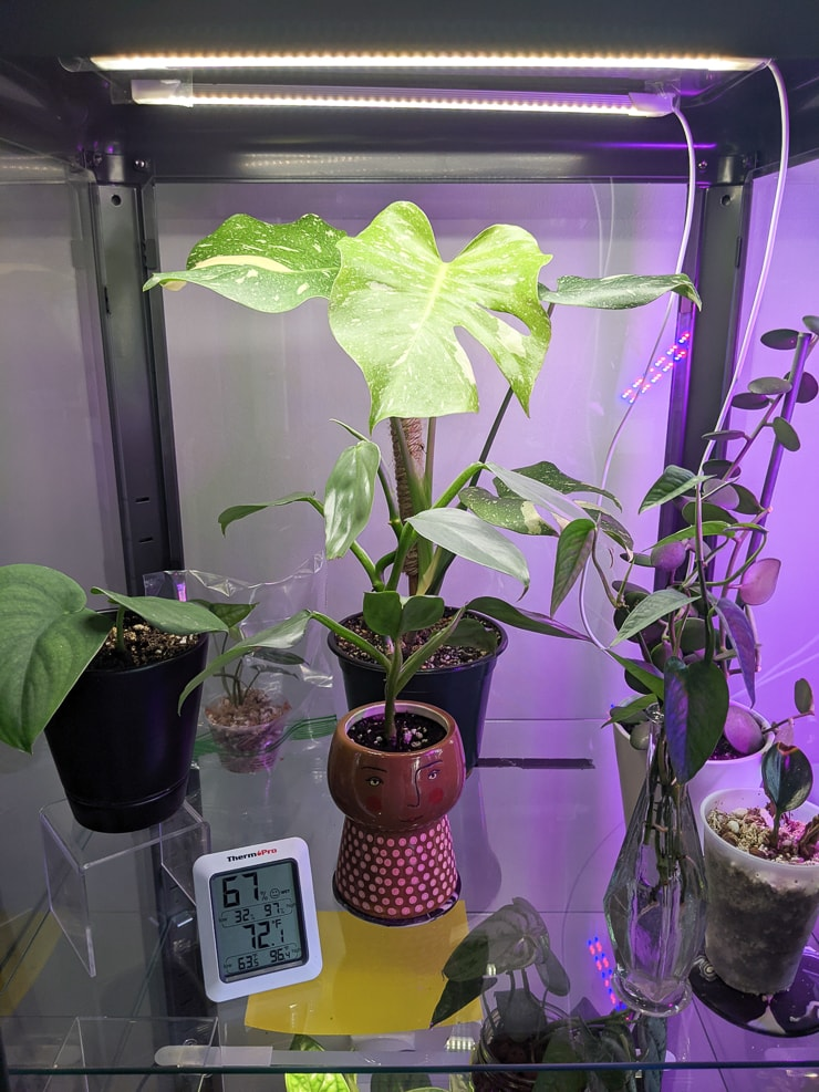 thai constellation monstera in an ikea greenhouse cabinet with strip grow lights