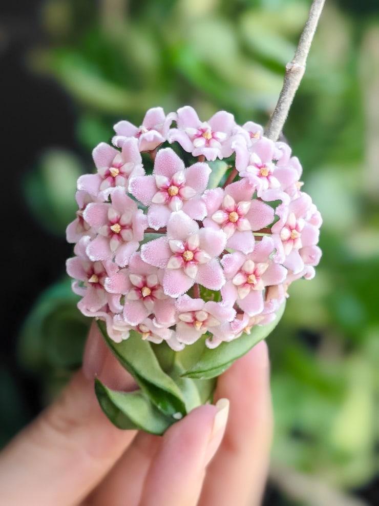 hoya carnosa compacta rope plant bloom