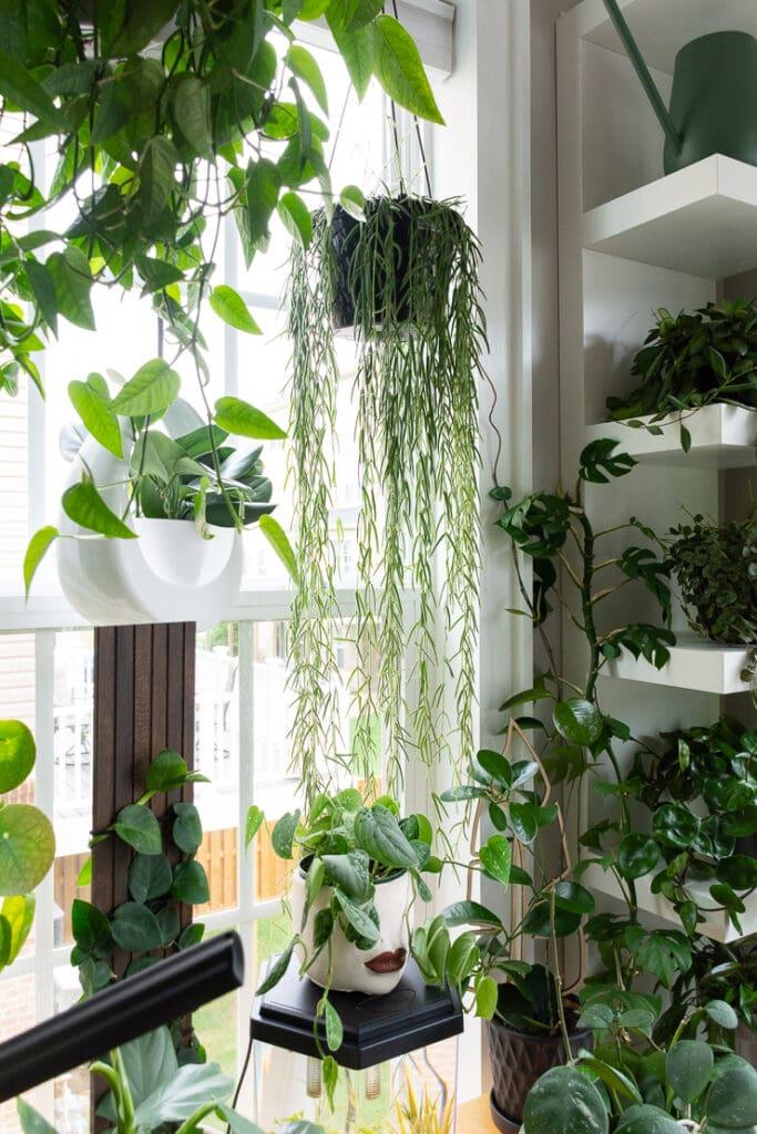 gorgeous trailing hoya linearis plant