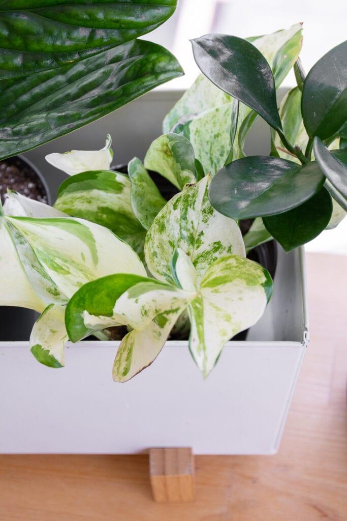 manjula pothos plant