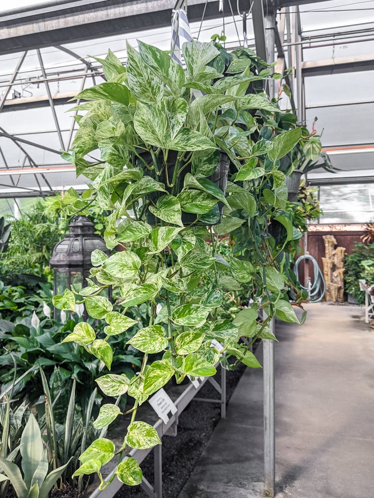 large trailing marble queen pothos plant at a nursery