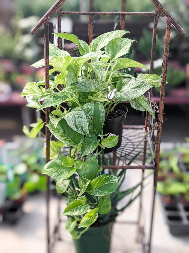 small trailing marble queen pothos plant