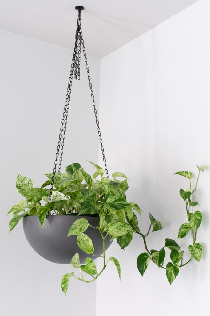 hanging marble queen pothos plant in a gray planter