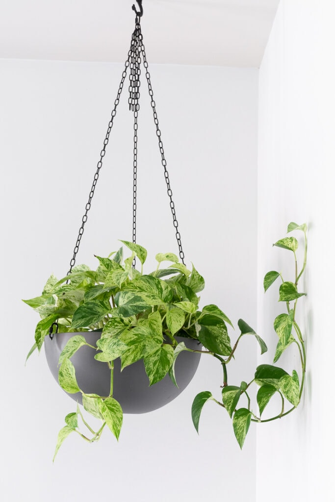 marble queen pothos hanging in a gray pot