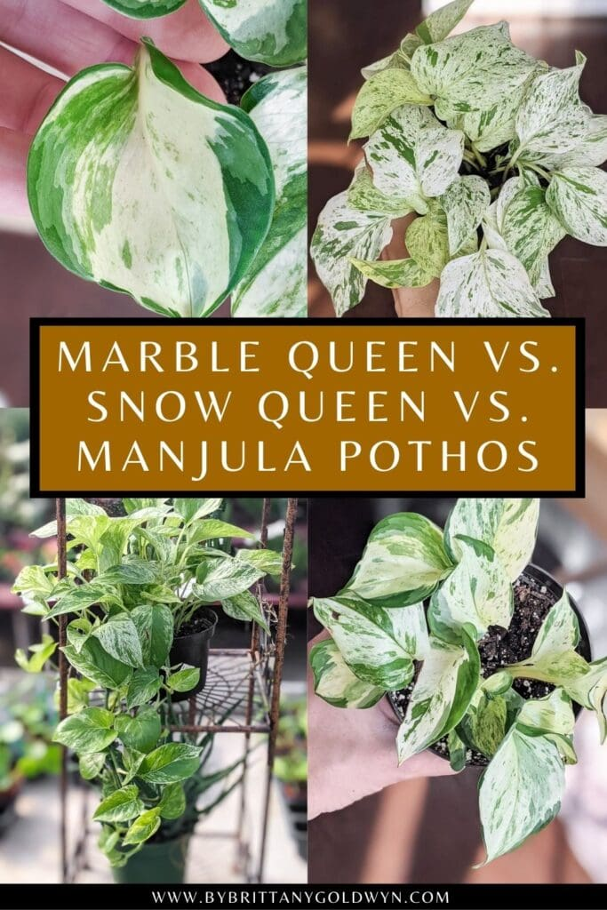 pinnable graphic about the difference between marble queen pothos, snow queen pothos, and manjula pothos plants including images and text overlay