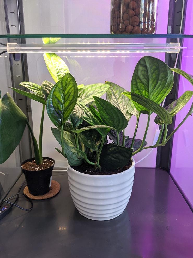 monstera peru plant in a white pot