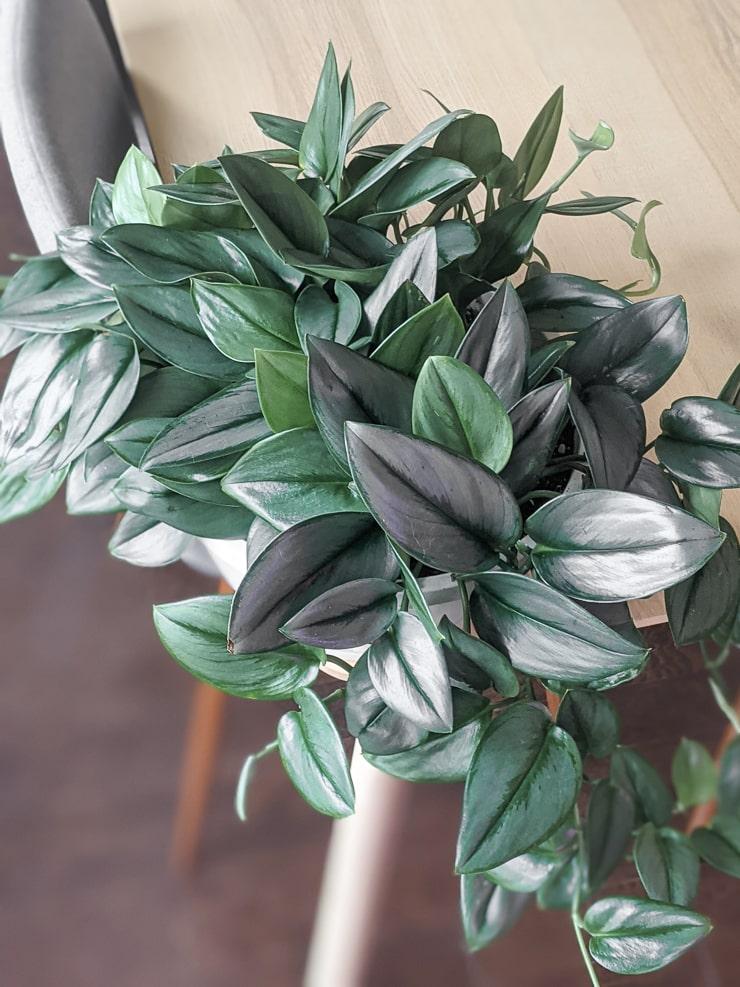 scindapsus treubii moonlight plant