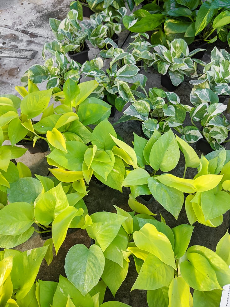 neon pothos and pearls and jade pothos plants at a nursery