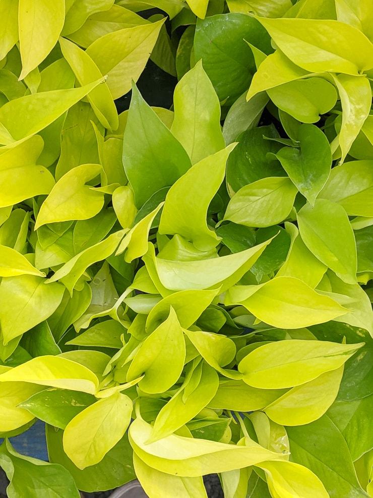 beautiful neon pothos foliage
