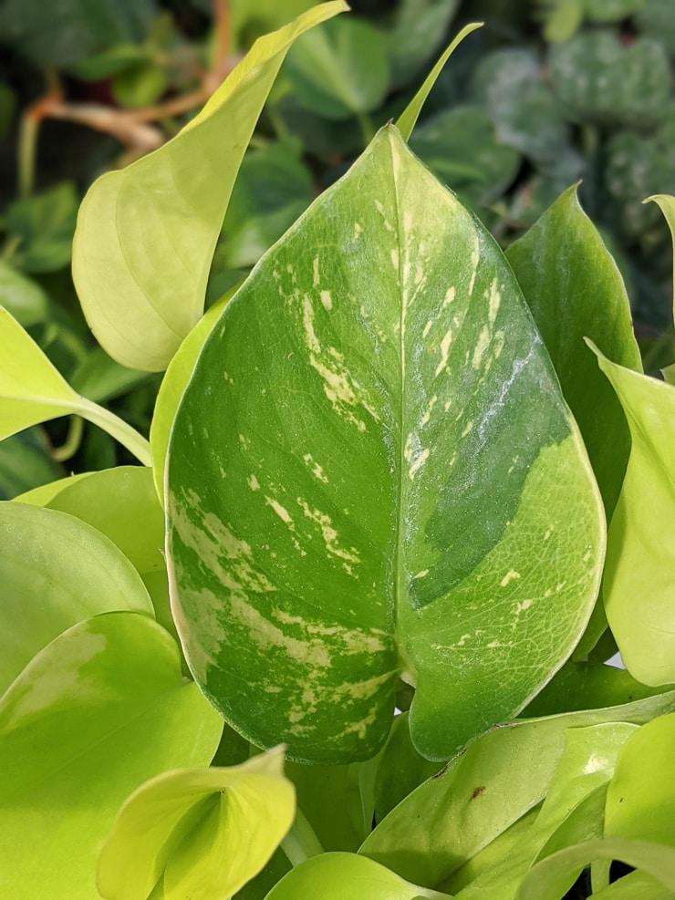 variegated neon pothos leaf