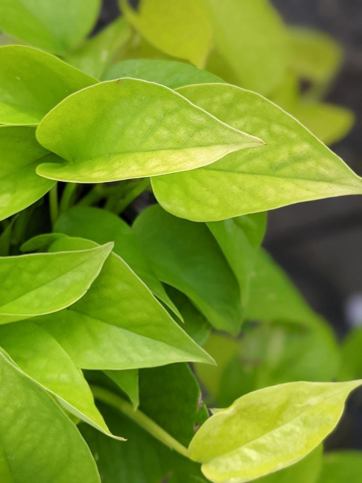 neon pothos leaves