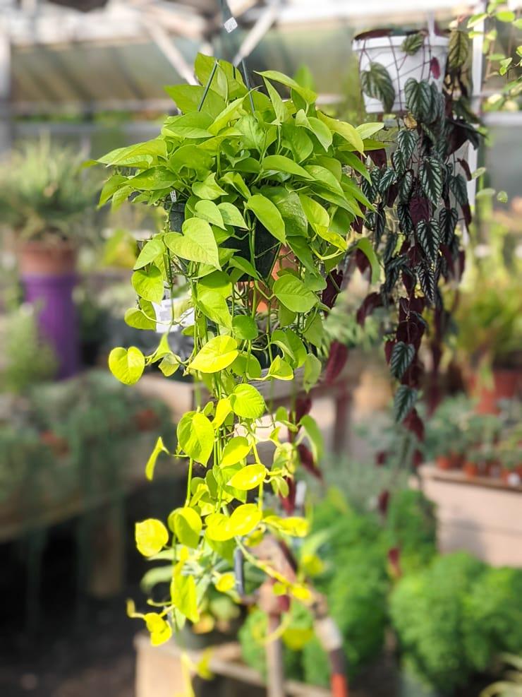 large trailing neon pothos plant