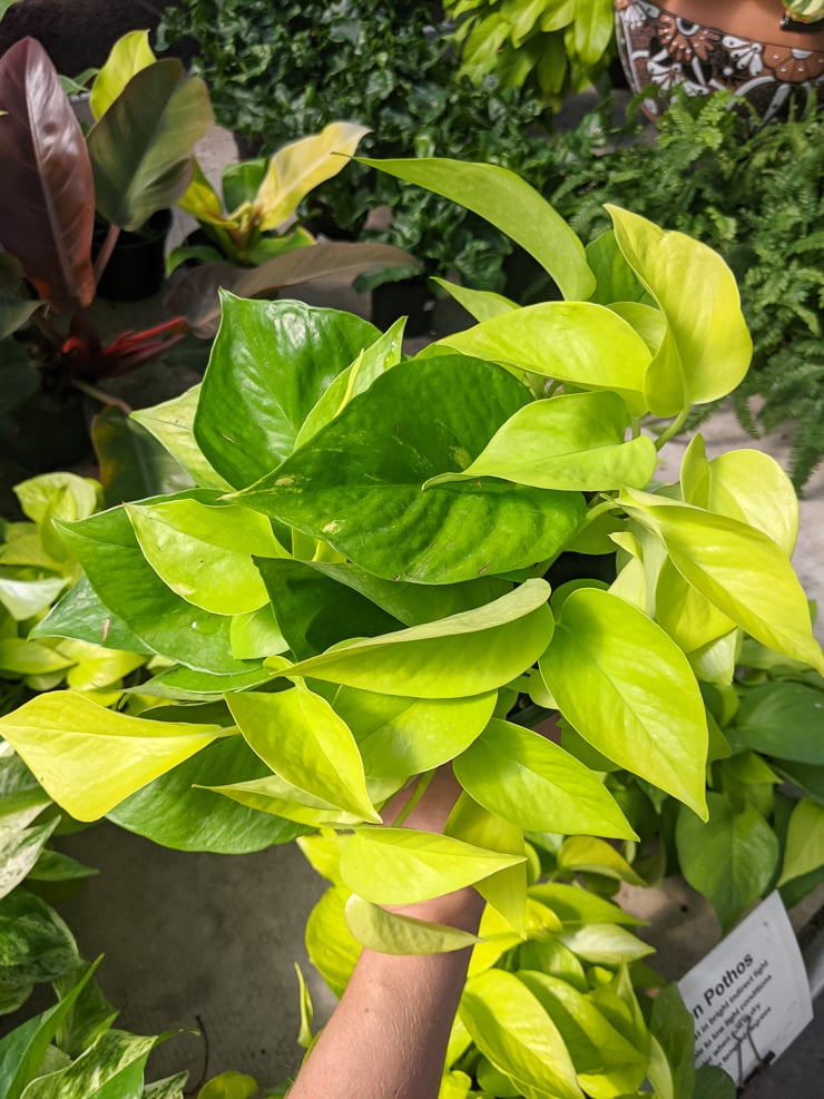 beautiful neon pothos plant