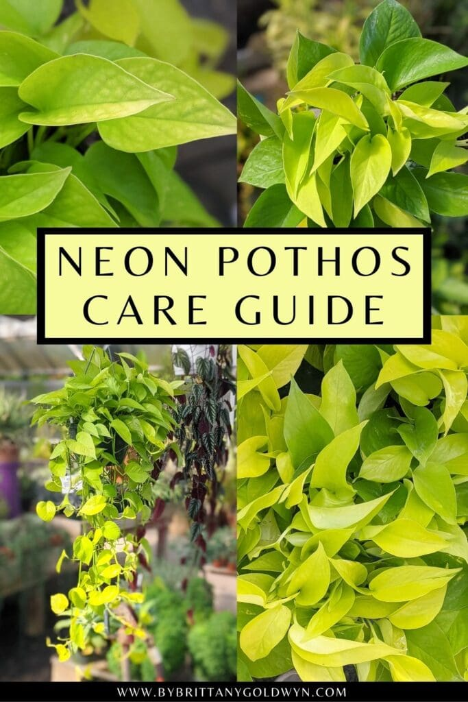 pinnable graphic about neon pothos care guide including a images and text overlay