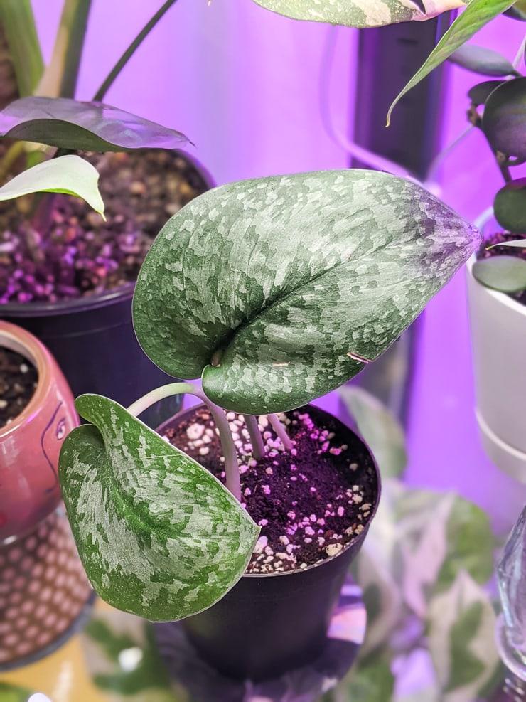 scindapsus silver splash plant