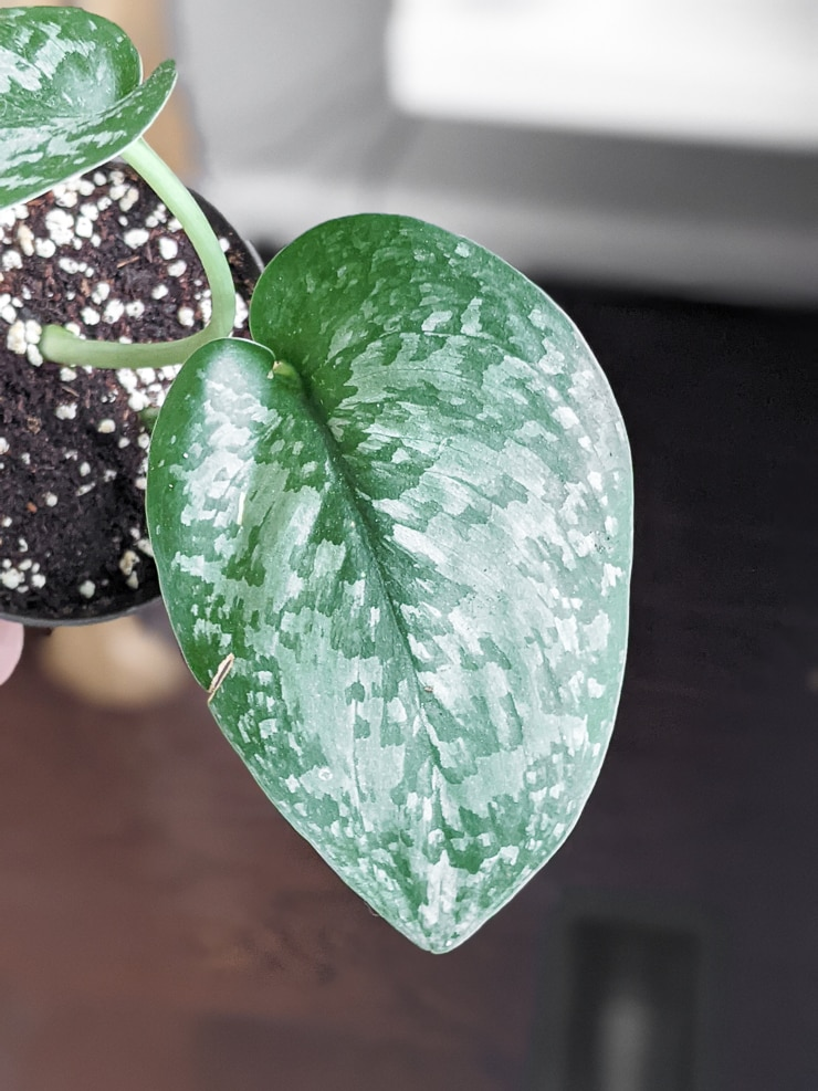 scindapsus silver splash leaf