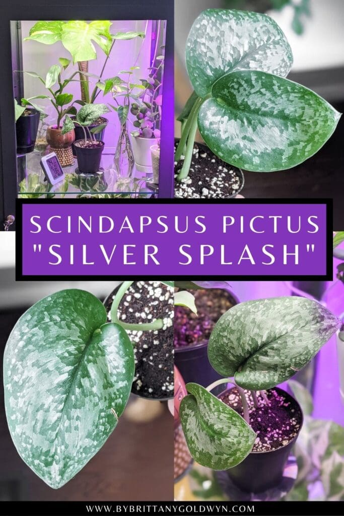 pinnable graphic about Scindapsus pictus silver splash including images and text overlay