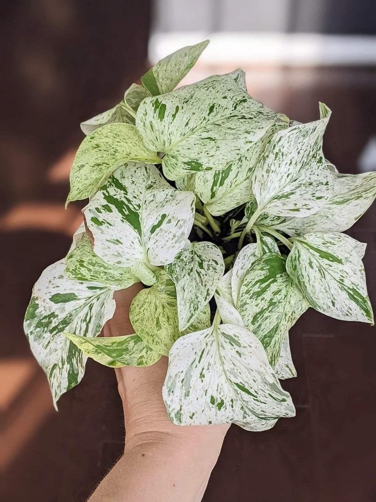 snow queen pothos plant